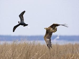 Seeadler jagt Kormoran (Foto: J. Reich)
