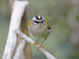 Sommergoldhähnchen (Foto: C. Moning)