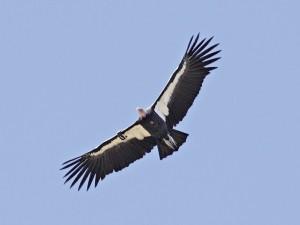 Kalifornischer Kondor (Foto: I. Weiß)